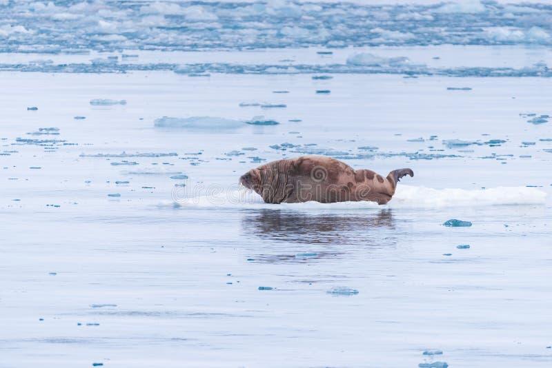 Landskapnaturvalross på en isisflak av dagen för Spitsbergen Longyearbyen Svalbard den arktiska vintersolsken arkivbild