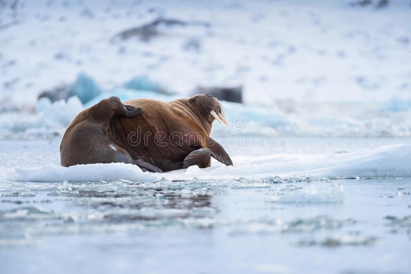 Landskapnaturvalross på en isisflak av dagen för Spitsbergen Longyearbyen Svalbard den arktiska vintersolsken royaltyfria foton