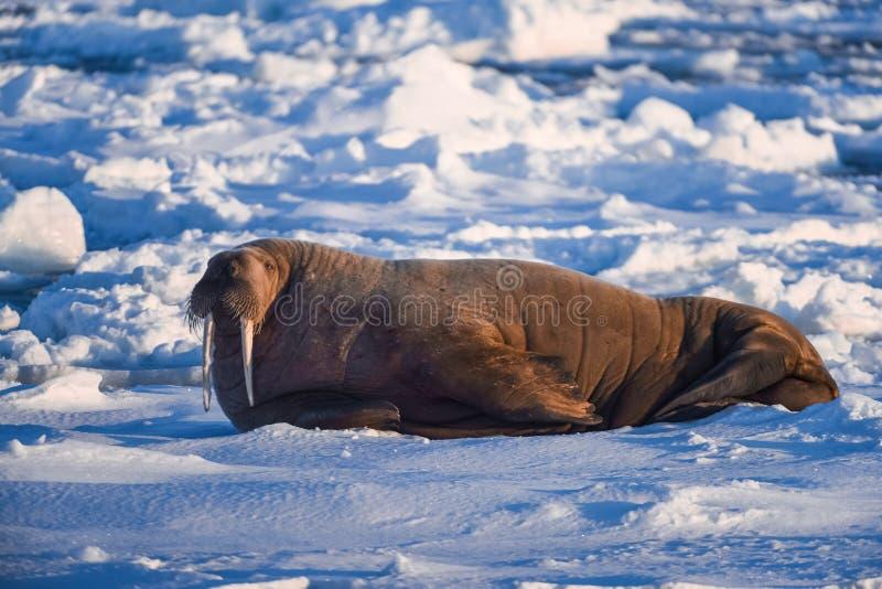 Landskapnaturvalross på en isisflak av dagen för Spitsbergen Longyearbyen Svalbard den arktiska vintersolsken royaltyfri fotografi