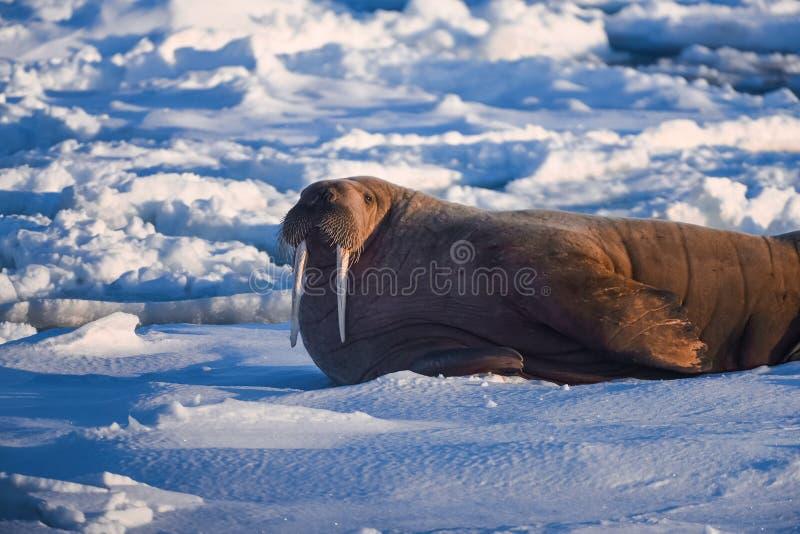 Landskapnaturvalross på en isisflak av dagen för Spitsbergen Longyearbyen Svalbard den arktiska vintersolsken fotografering för bildbyråer