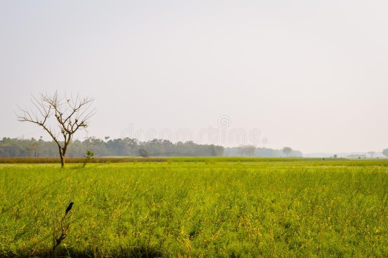 Landskapsikt av den gula färgrapsfröt att samla blommor på horisonten av skogsmarken Nadia, västra Bengal, Indien royaltyfri fotografi