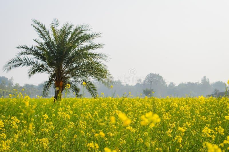 Landskapsikt av den gula färgrapsfröt att samla blommor på horisonten av skogsmarken Nadia, västra Bengal, Indien royaltyfria bilder