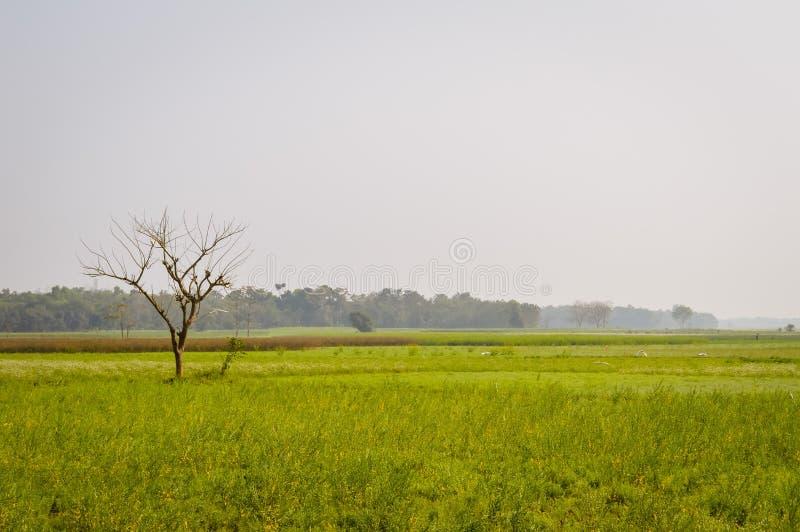 Landskapsikt av den gula färgrapsfröt att samla blommor på horisonten av skogsmarken Nadia, västra Bengal, Indien royaltyfria foton
