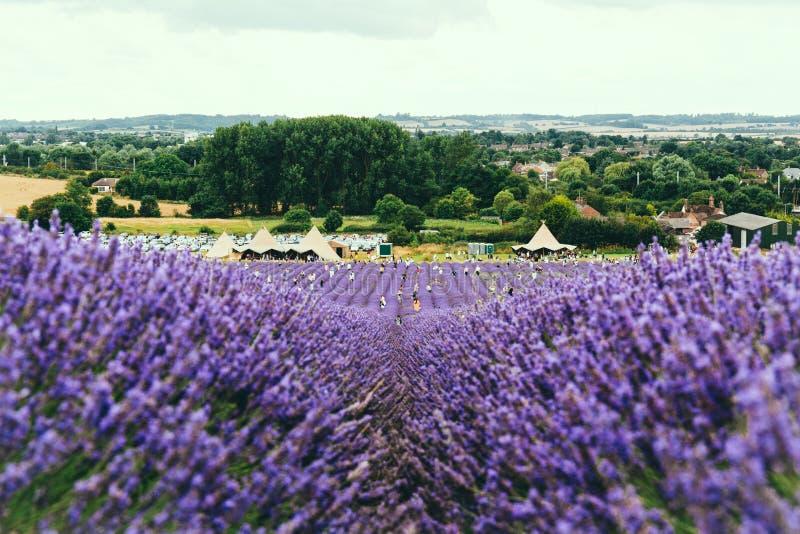 Landskapsikt av det Hitchin lavendelfältet arkivfoto