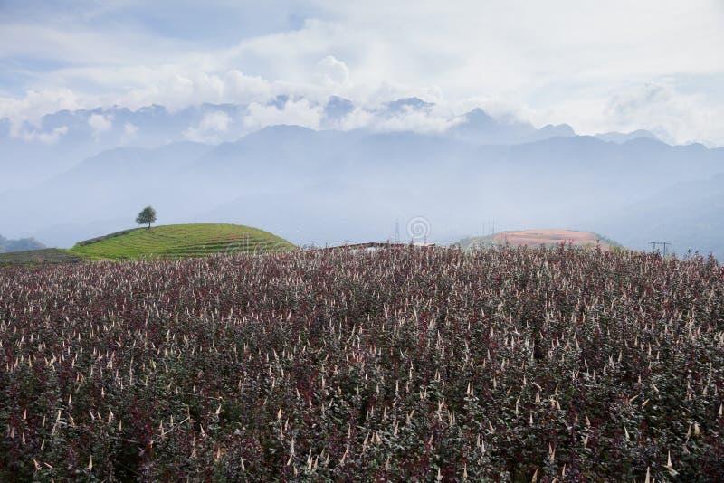 Landskapsikt av rosellefältet på soluppgång ovanför berget royaltyfri bild