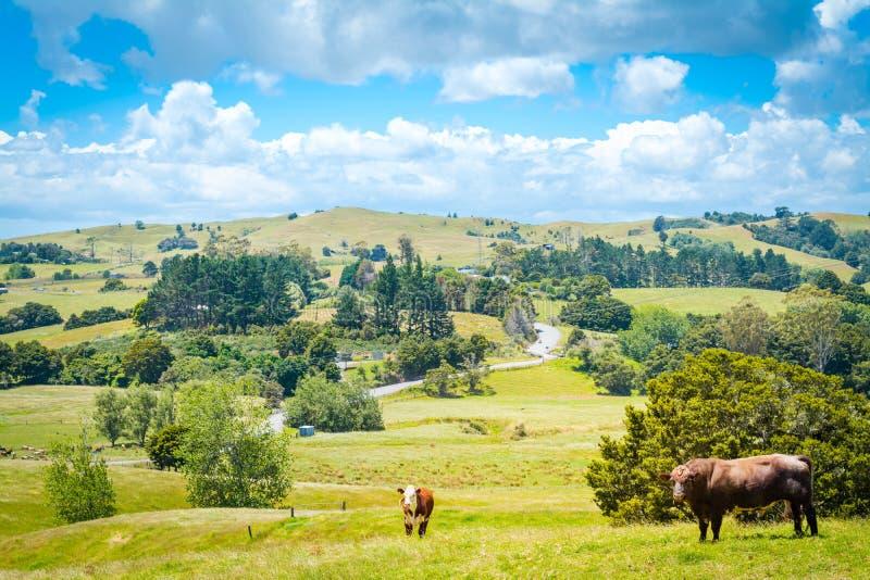 Landslandskapet med en röd ko och en brun tjur som ser rak in i kameran från en frodig gräsplan, betar av gräs royaltyfria foton