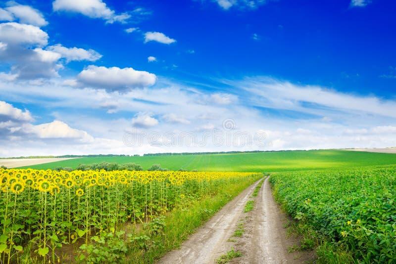 Landsväg mellan fältsolrosen royaltyfria foton