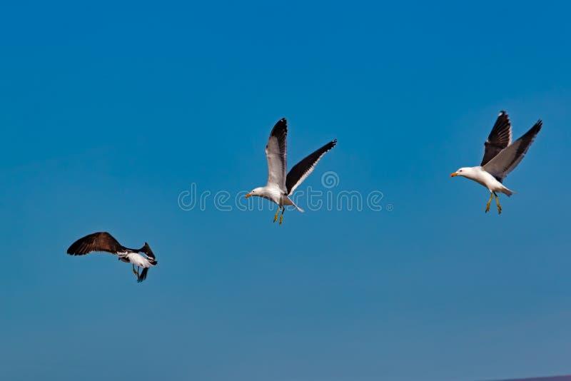 Landung mit drei Seemöwen in der Bildung stockbild
