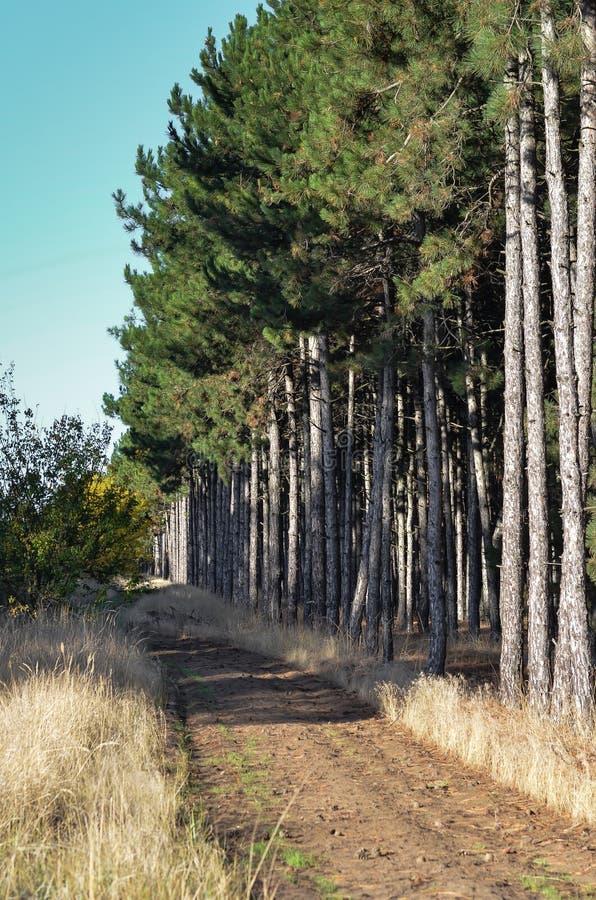 Landweg in de pijnboom bos Zonnige dag royalty-vrije stock foto