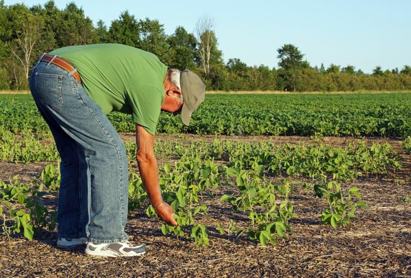 Landwirt überprüft die Sojabohnen lizenzfreies stockbild