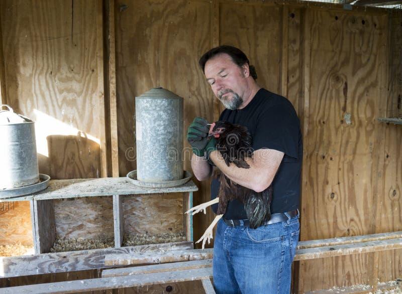 Landwirt Applying Medication To ein Freiland-Huhn lizenzfreies stockbild
