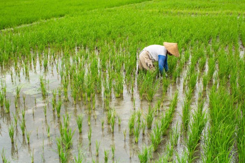 Landwirt arbeitet auf einem Reisgebiet landwirtschaft lizenzfreie stockbilder