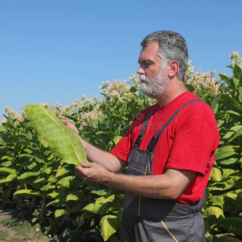 Landwirt auf dem Tabakgebiet lizenzfreie stockfotos