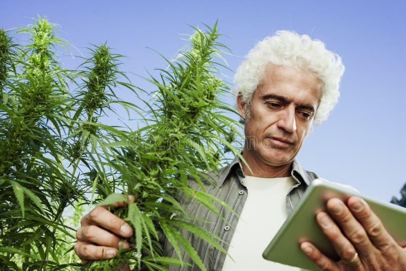 Landwirt auf einem Hanfgebiet unter Verwendung einer Tablette lizenzfreies stockbild