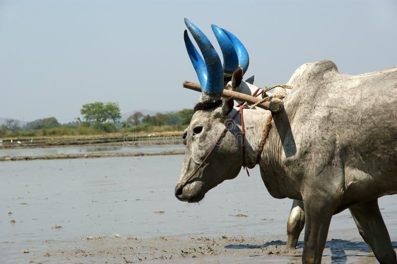 Landwirt behandelt Reisfeldbüffel lizenzfreie stockbilder