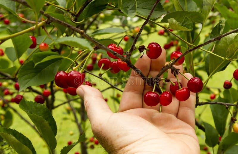 Landwirt Checking His Cherry Trees Before Harvest lizenzfreie stockfotos