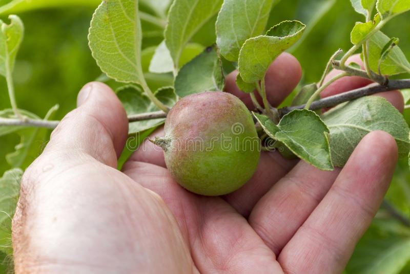 Landwirt Checking junges Apple stockbild