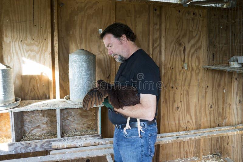 Landwirt Checking The Wings eines Freiland-Huhns lizenzfreie stockfotos
