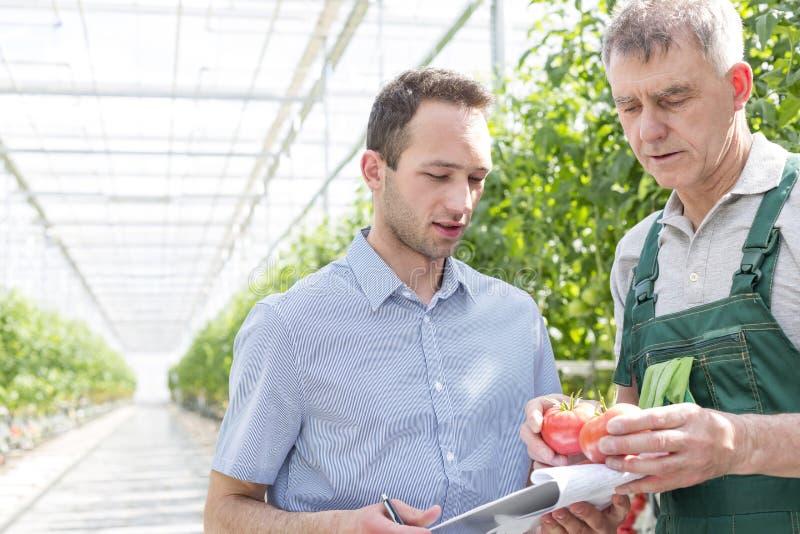 Landwirt, der der Aufsichtskraft Tomaten im Gewächshaus zeigt stockfoto