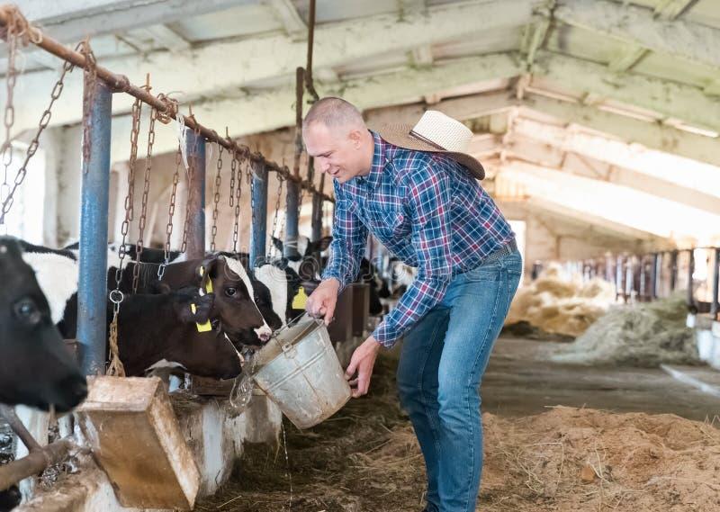 Landwirt, der an Bauernhof mit Milchkühen arbeitet stockbilder