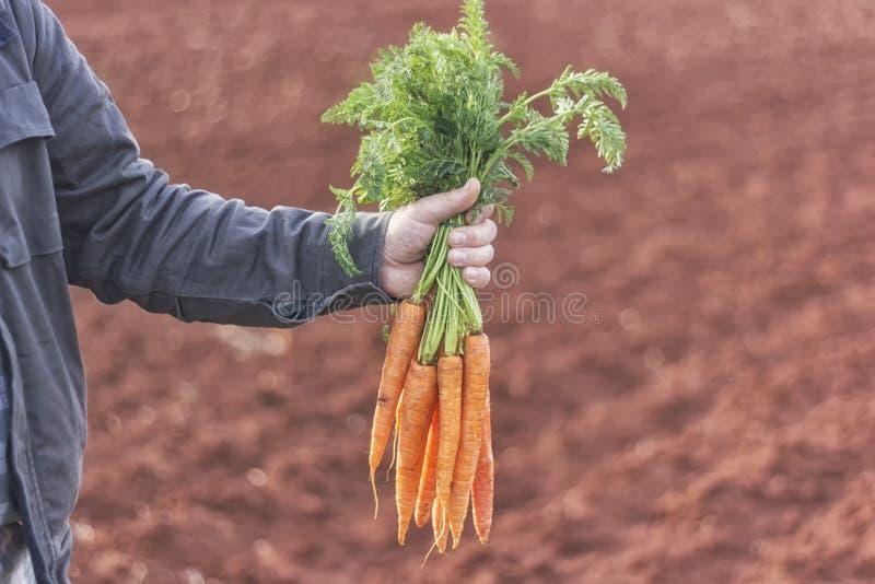 Landwirt, der ein Bündel Karotten hält stockbild