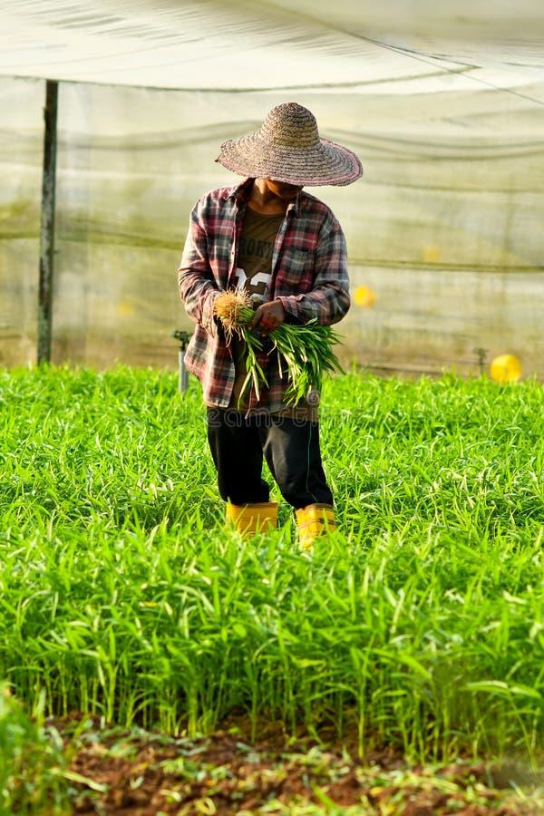 Landwirt, der im Biohof erntet stockbild