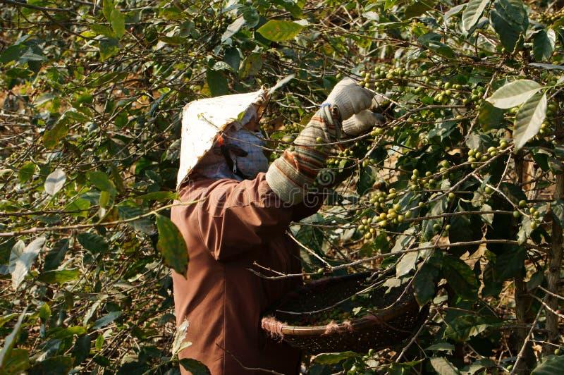 Landwirt, der Kaffeebohne erntet stockfoto