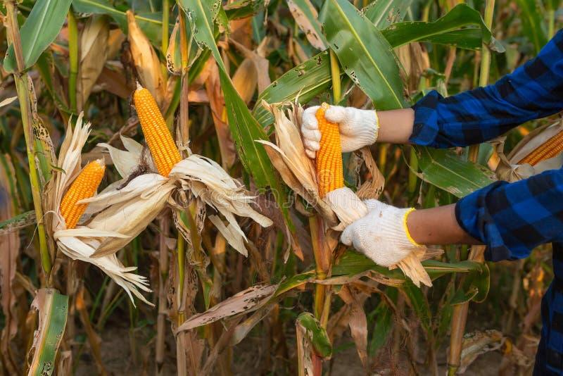 Landwirt, der Maiskolben an seinem Feld, Mais für Tierfutter kontrolliert lizenzfreies stockbild