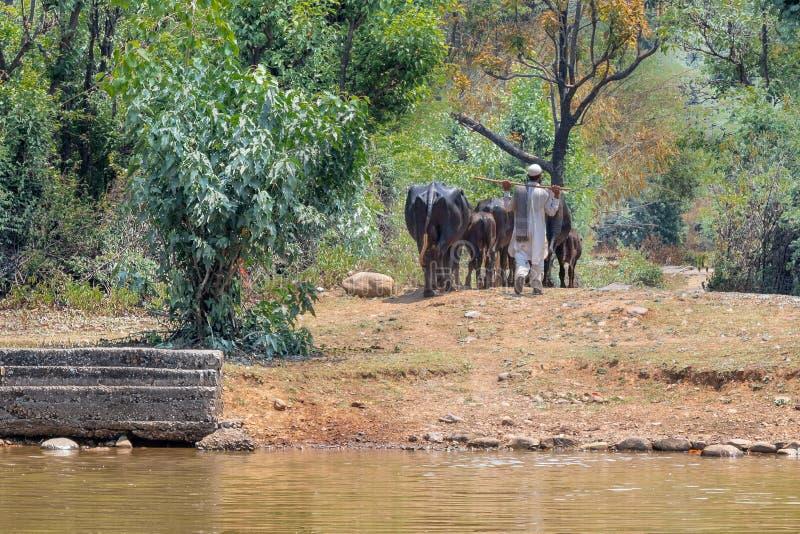 Landwirt, der mit Büffel geht lizenzfreie stockfotos