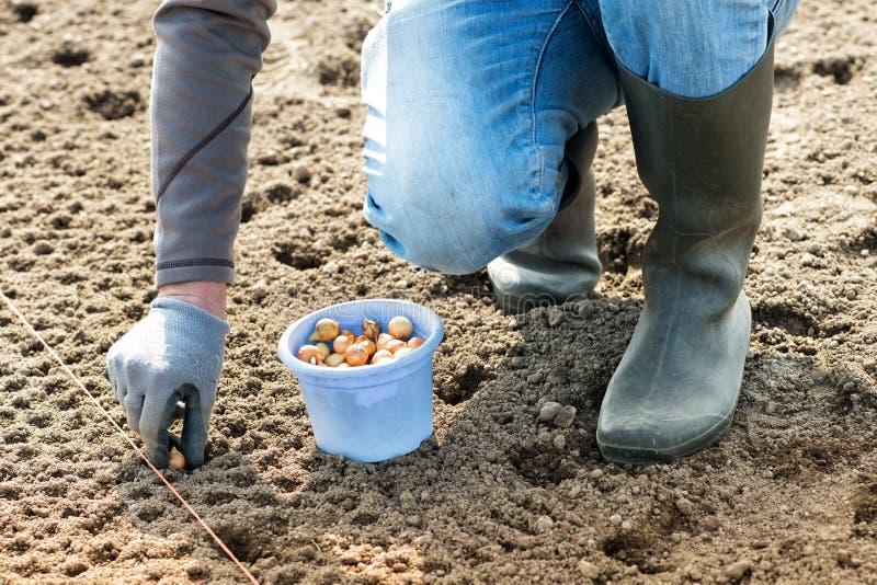 Landwirt, der Samen der weißen Zwiebel in das Feld pflanzt lizenzfreies stockfoto