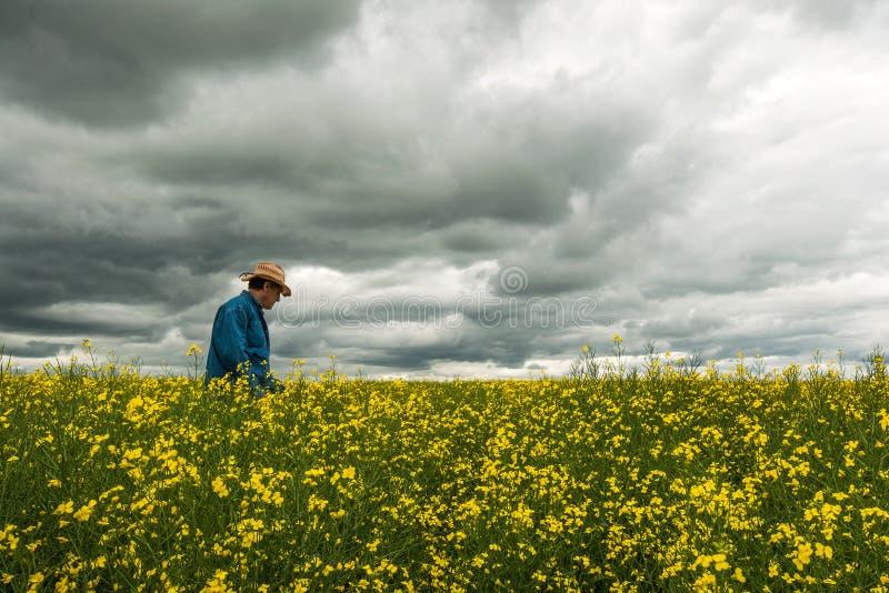 Landwirt, der seine Ernte von Canola überprüft lizenzfreies stockfoto