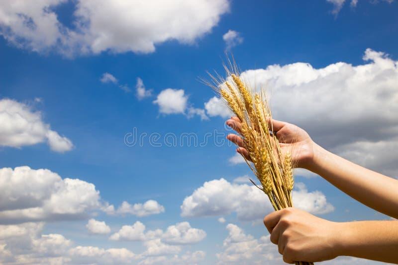 Landwirt, der seinen erfolgreichen Weizenertrag hält stockbild