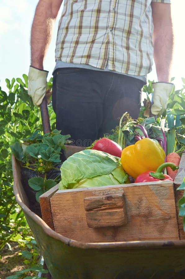Landwirt, der voll Schubkarre und Kiste frisches organisches produ drückt lizenzfreies stockbild