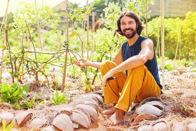 Landwirt, der wachsende Tomaten hält stockfotos