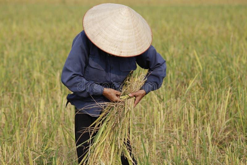 Landwirt erntet Reispflanze stockbild
