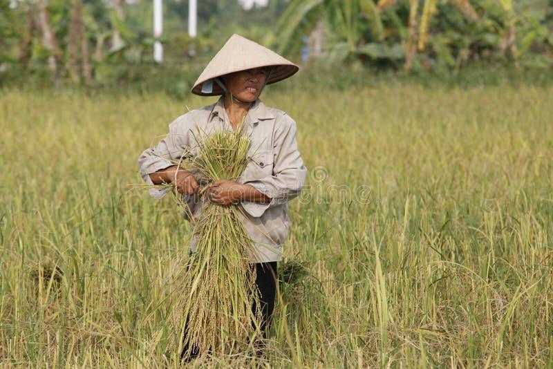 Landwirt erntet Reispflanze stockfotografie