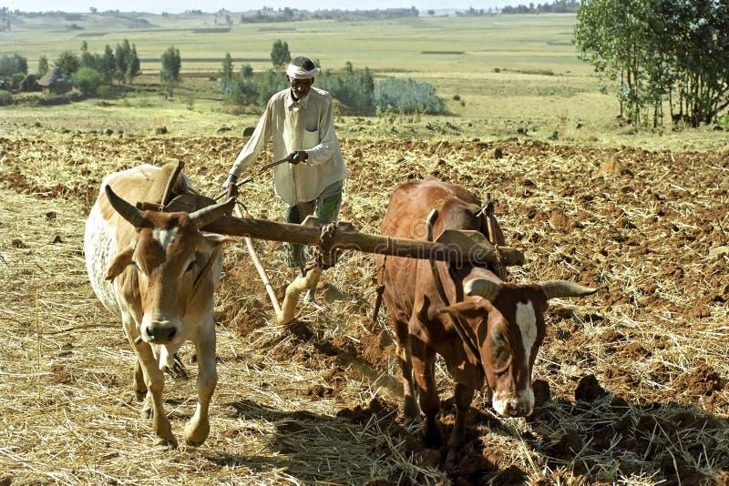 Landwirt ist mit dem Pflug und Ochsen, die seins Feld pflügen lizenzfreie stockbilder