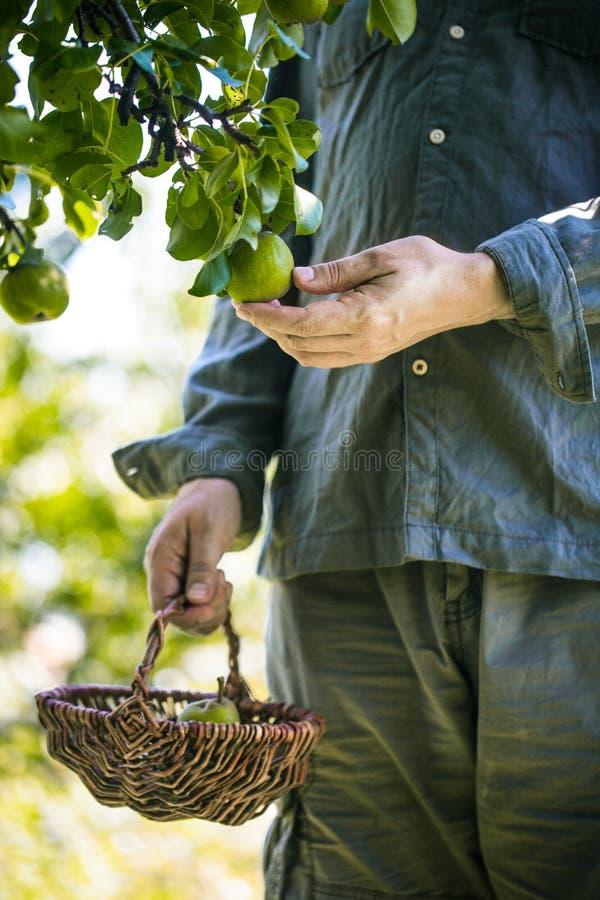 Landwirt mit Birnen Birnenernte stockbilder