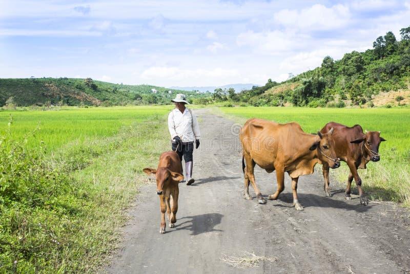 Landwirt mit seinen Kühen auf dem Heimweg stockfotografie