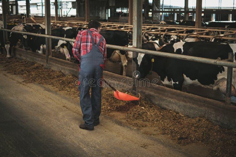 Landwirt mit showel in einem Kuhstall auf einer Molkerei lizenzfreie stockfotos
