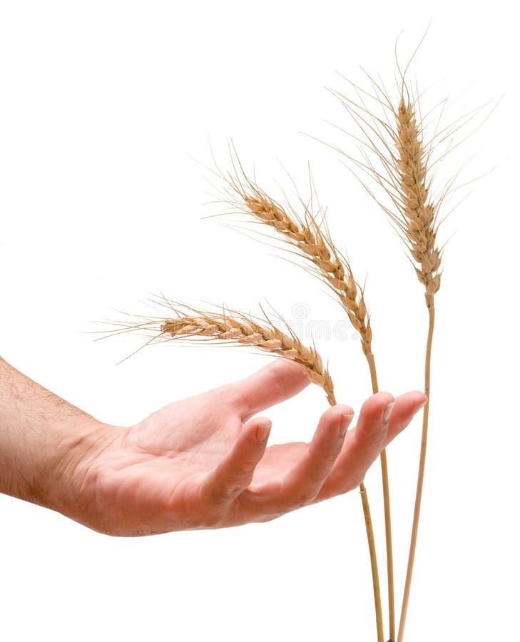 Landwirt mit Weizen stockfoto