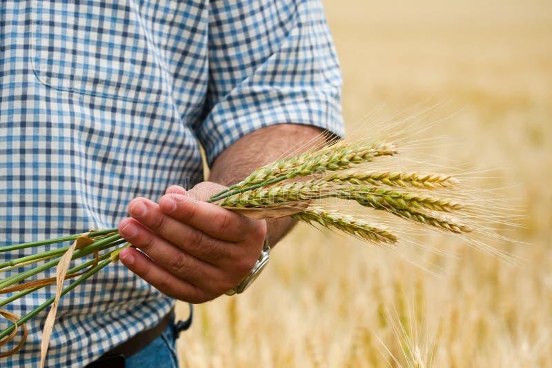 Landwirt mit Weizen in den Händen. stockfotografie