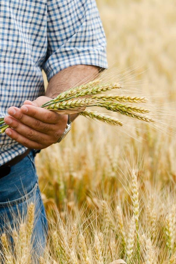 Landwirt mit Weizen in den Händen. lizenzfreie stockbilder