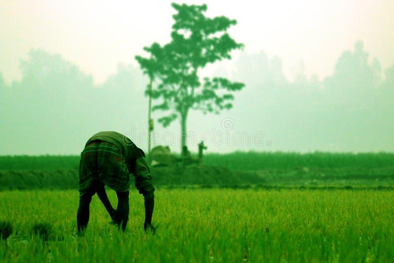 Landwirt pflanzt Paddy und Baum auf dem mittleren Gebiet stockfotografie