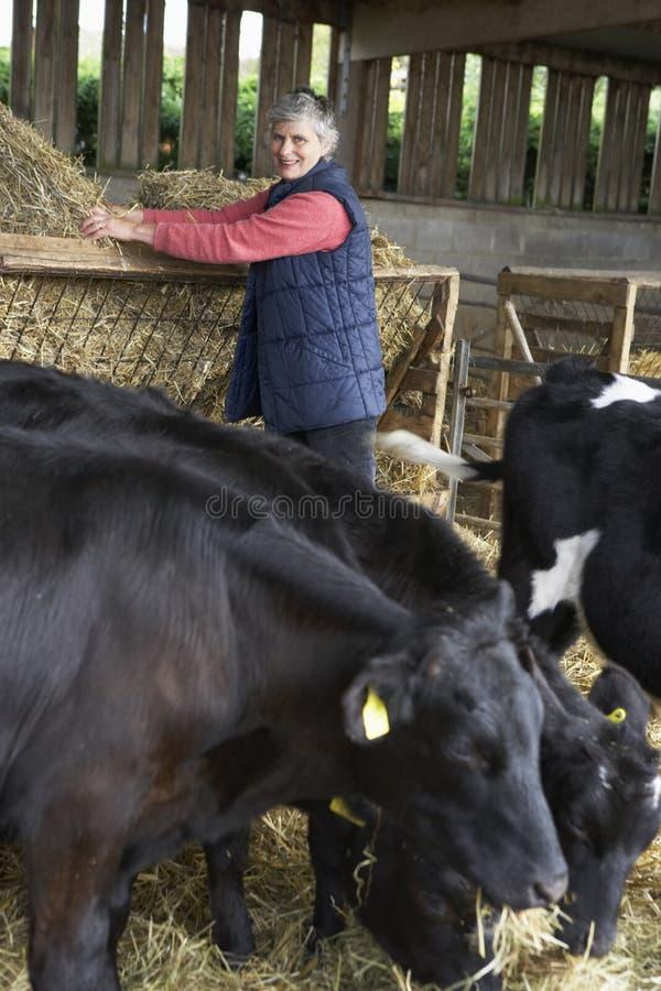 Landwirt-speisenvieh im Stall lizenzfreie stockfotos