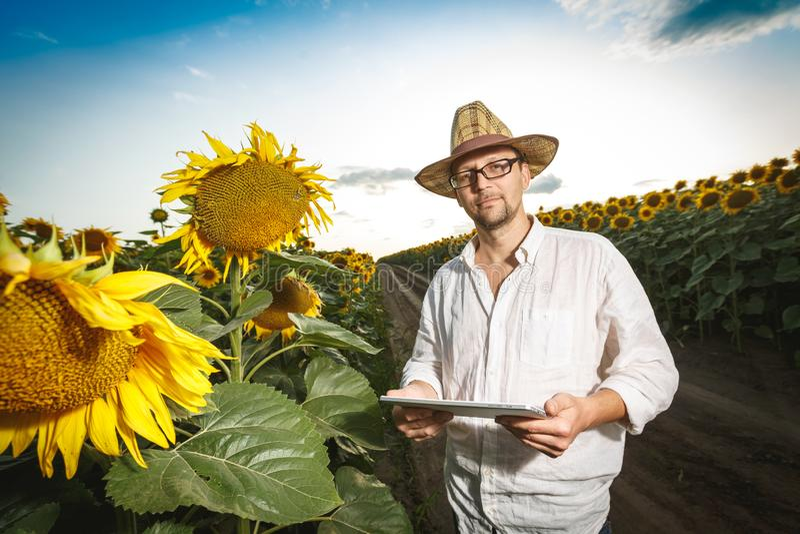 Landwirt in tragenden Gläsern eines Strohhutes mit einer digitalen Tablette, die Sonnenblumenfeld kontrolliert stockbild