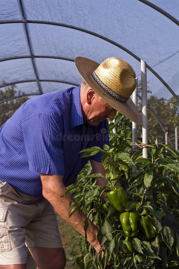 Landwirt und grüner Pfeffer stockfotos