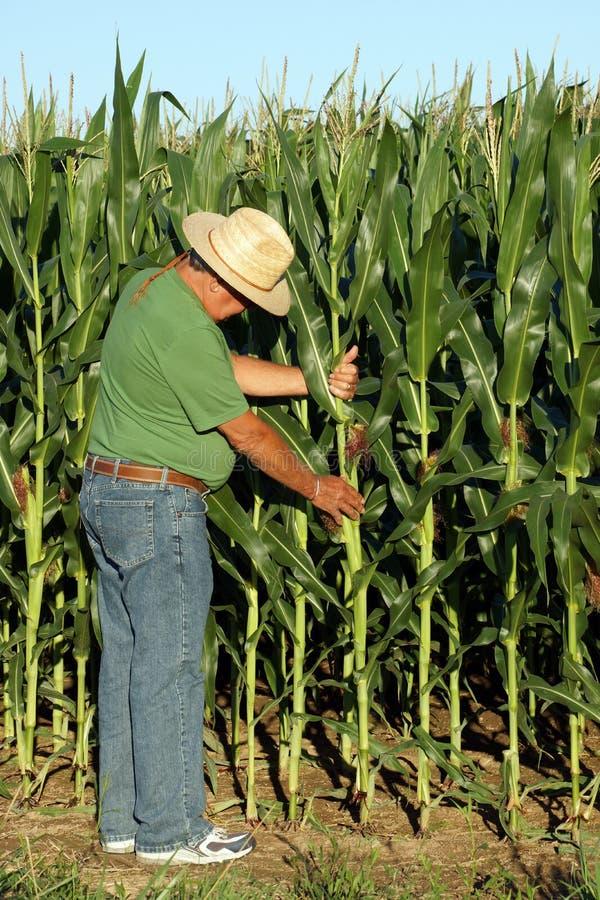 Landwirt wählt den Mais aus stockfotografie