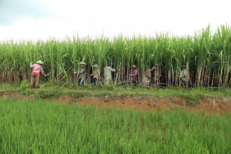 Landwirte, die auf Zuckerrohrfeld ernten stockbilder