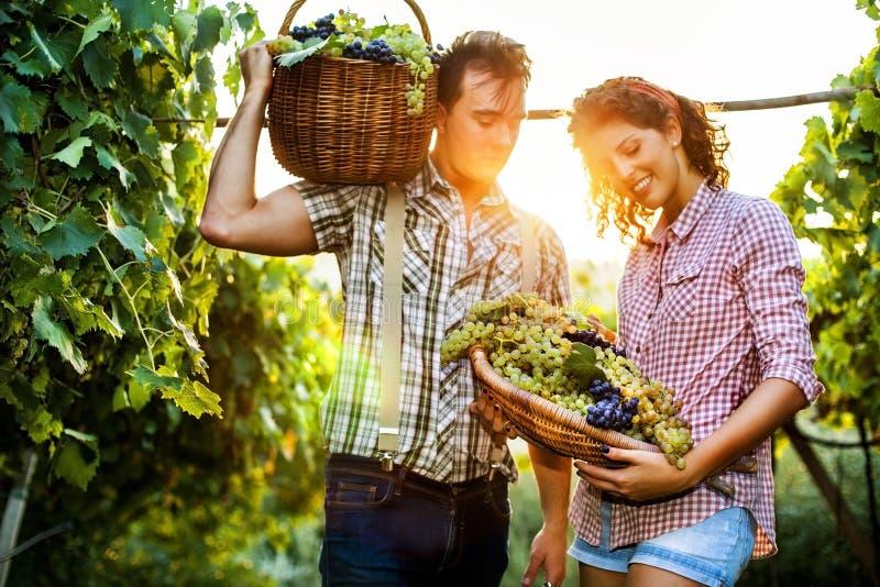 Landwirte, die Trauben in einem Weinberg ernten stockbilder